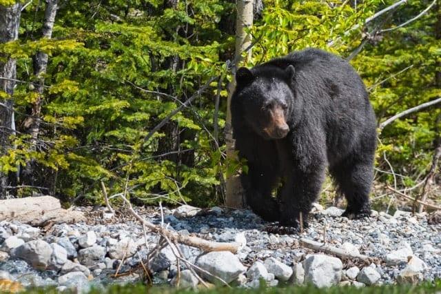 山に生息する熊